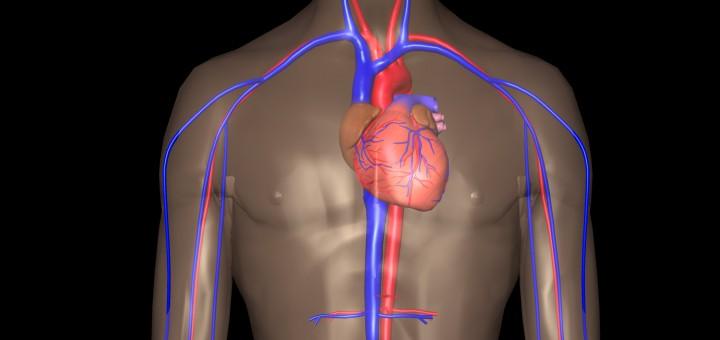 Thorax und Herz-Kreislauf-System mit Arterien und Venen