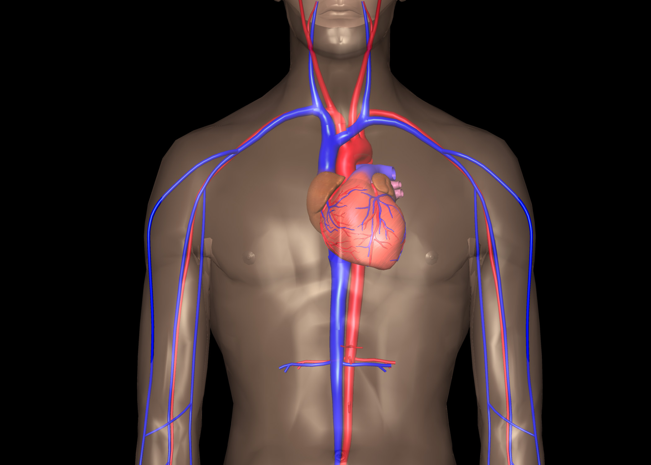 Herz (Cor, Kardia) - Gesundmed – Medizin und Gesundheit im Web
