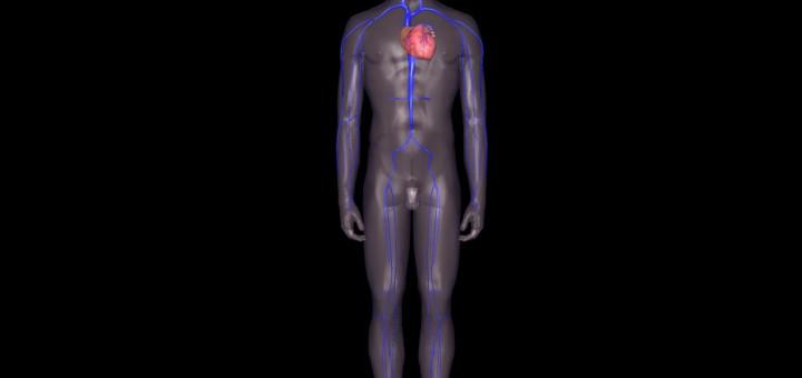 Blutkreislauf der Venen Ganzkörperansicht
