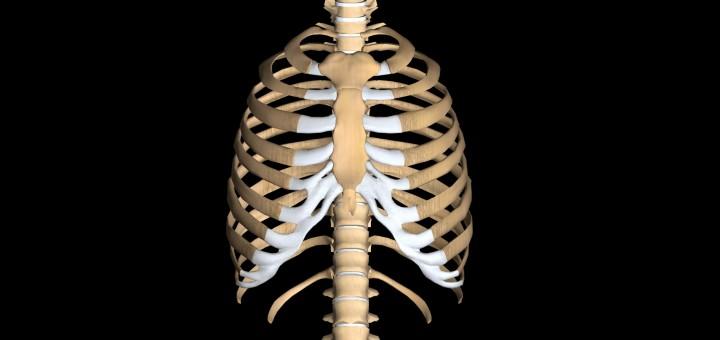Wirbelsäule und Brustkorb von vorne