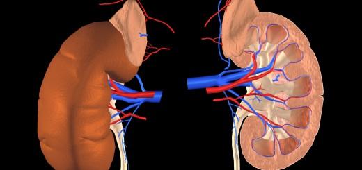 Nieren und Nebennieren mit Harnleiter und Blutgefäßen