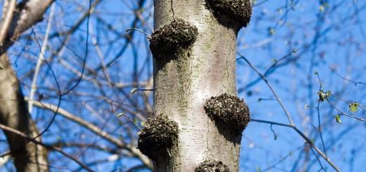 Baumwucherungen