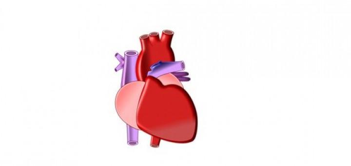 Modell des Herzmuskels