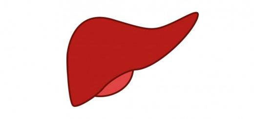 Das Organ Leber