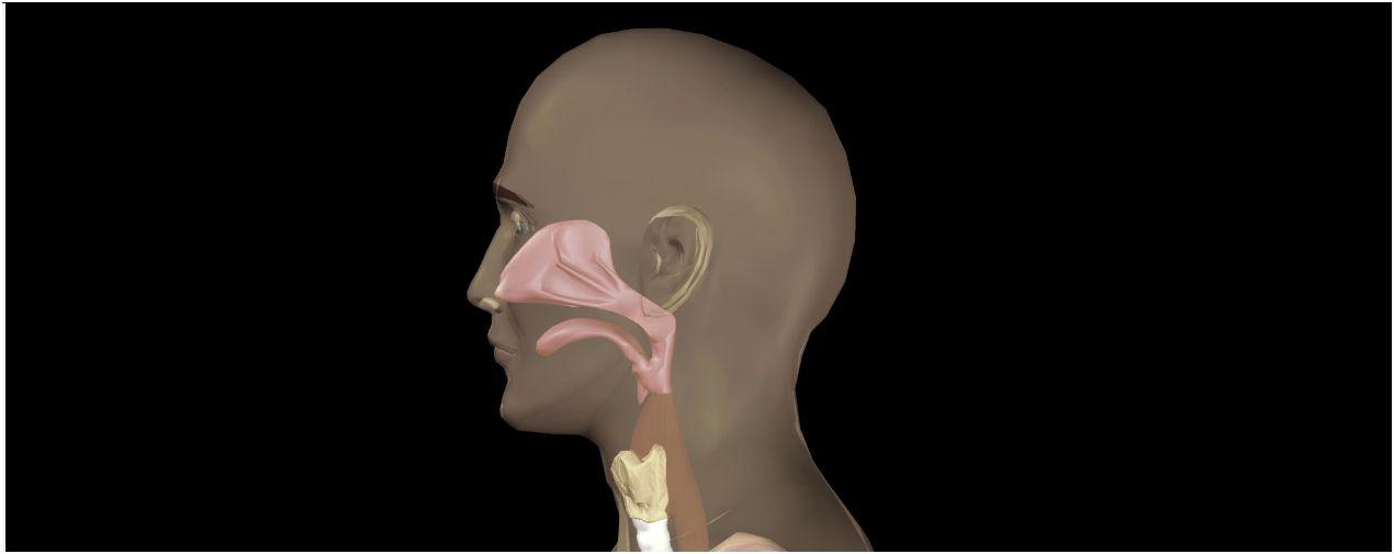 Rachen (Pharynx) - Gesundmed – Medizin und Gesundheit im Web