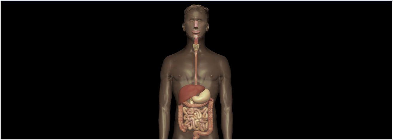 Milz (Lien, Splen) - Gesundmed – Medizin und Gesundheit im Web
