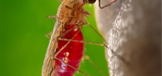 Moskito, Mückenstich, Blutstropfen