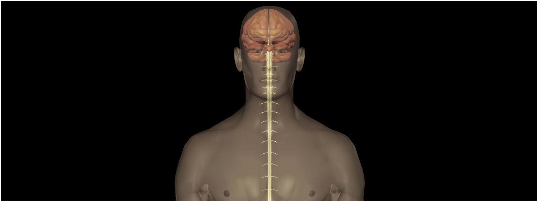 Rückenmark (Medulla spinalis) - Gesundmed – Medizin und Gesundheit ...
